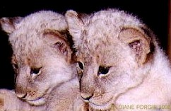 Two cute kittens of white lion